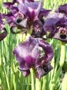 iris-gilboa-32007-014.thumbnail