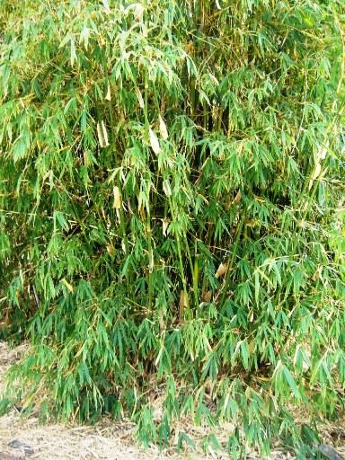 safam-bambusa-tuldoides-22408-069