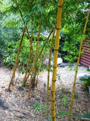 safam-bambusa-vitata