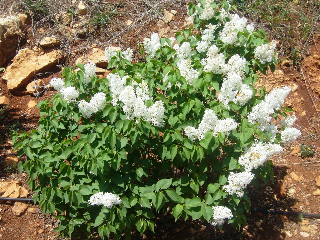 syringa volgaris white