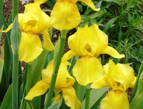 איריס גרמני צהוב iris germanica