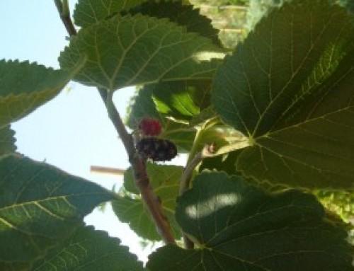 תות שמי   Morus nigra
