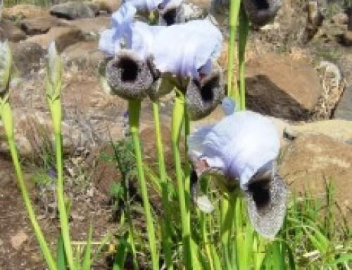 איריס החרמון   Iris hermona  سوسن جبل الشيخ