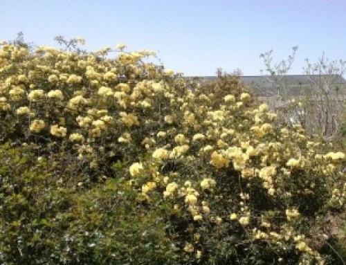 ורד בנקסיה Rosa banksiae