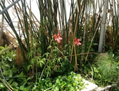 """היביסקוס """"יפיפית הדרום"""" Hibiscus moscheutos"""
