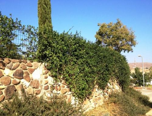 טרכלוספרמון יסמיני  Trachelospermum jasminoides